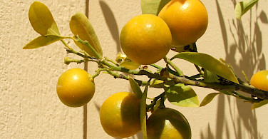 Citrus tree in Athens, Greece. Photo via Flickr:gypsy in moda