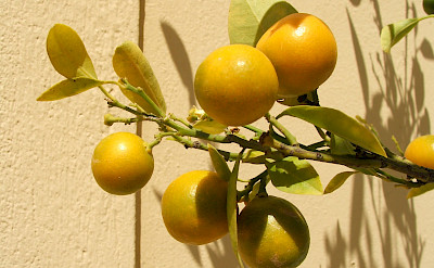 Citrus tree in Athens, Greece. Flickr:gypsy in moda