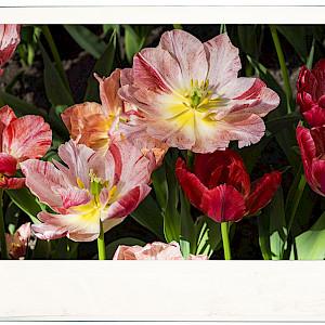 Variegated Flowers