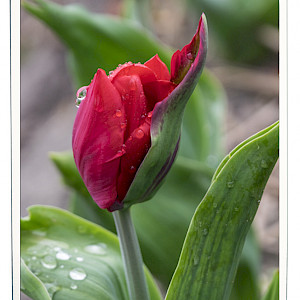 Curved Red Tulip