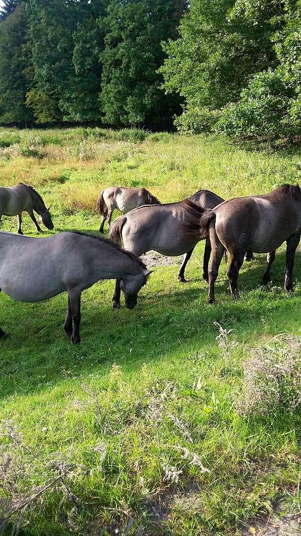 Wild horses in Poland