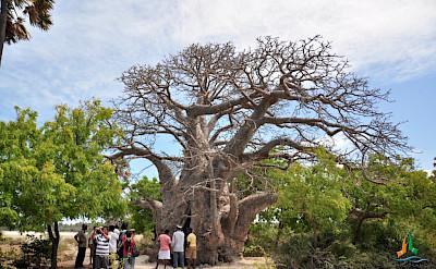 Baobab Tree, South Africa. Flickr:Amila Tennakoon