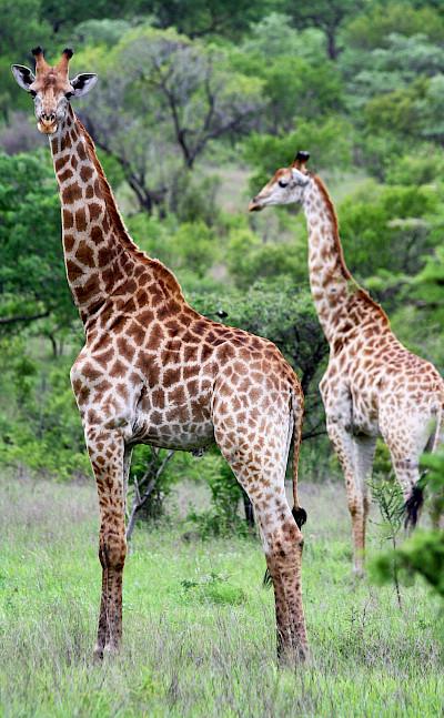Giraffes - Kruger National Park, South Africa. Flickr:Dimitry B.