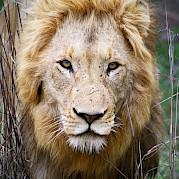 South Africa Kruger National Park Safari Photo