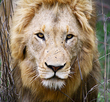 Lion at Greater Kruger National Park, South Africa. Photo via Flickr:Dimitry B.