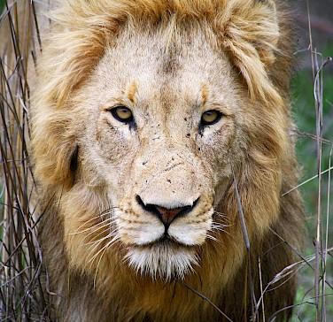 Lion at Greater Kruger National Park, South Africa. Photo via Flickr:Dimitry B.