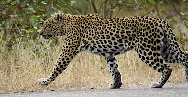Leopard in Greater Kruger National Park, South Africa. Photo courtesy of our local partner, Panorama Pedals