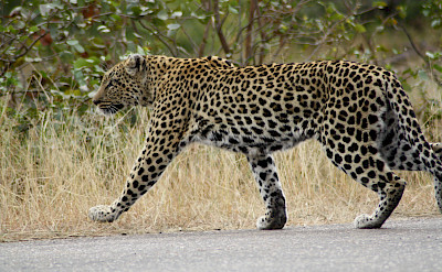 Leopard in Greater Kruger National Park, South Africa. Photo via TO