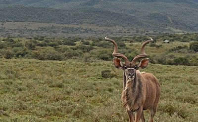 Kudus in South Africa. Flickr:Harshil Shah