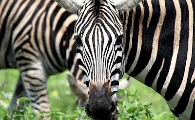 Zebras - Kruger National Park, South Africa. Flickr:Dimitry B.