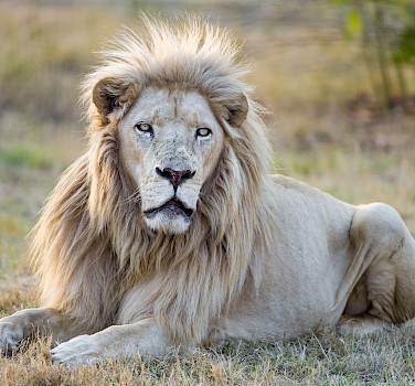 White lion in South Africa. What a sight! Photo via Flickr:Tambako The Jaguar