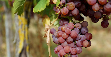 Gewürztraminer wine grown in Obernai, Alsace, France. Flickr:Randi Hausken