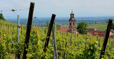Vineyards near Riquewihr along the Alsace Wine Route, France. Photo via Flickr:Pug Girl