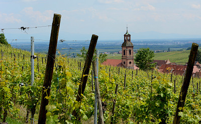 Vineyards near Riquewihr along the Alsace Wine Route, France. Flickr:Pug Girl