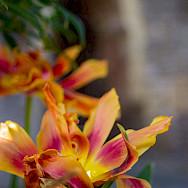 Gorgeous flowers in Cordes-sur-Ciel in Tarn River Valley, France. Photo via Flickr:Eneko Bidegain