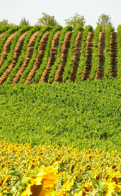 Vineyards and sunflower fields throughout the Tarn River valley, France. Photo via Flickr:Tony Lewis