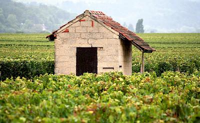 Vineyards in Burgundy, France. Creative Commons:Megan Mallen