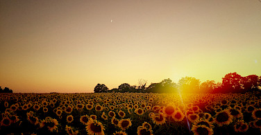Sunflower field in Burgundy, France. Photo via Flickr:William Hutter
