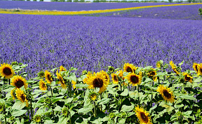 Lavender and sunflower fields forever in Burgundy, France. Photo via TO