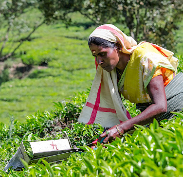 Picking tea leaves in Munnar, Kerala, India. Photo via Flickr:Stefano Ravalli