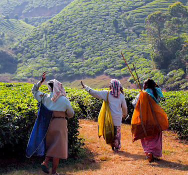 Tea Estate in Kanan Devan Hills, India. Photo via Flickr:Julia Maudlin