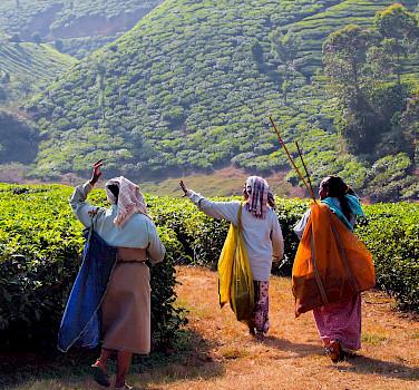 Tea Estate in Kanan Devan Hills, India. Photo via Flickr:Julia Maudlin