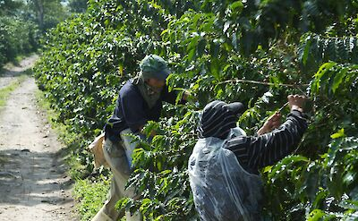 Picking coffee beans at a plantation in the Coffee Triangle of Colombia. Flickr:McKay Savage