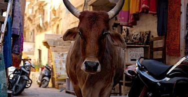 Bull in the streets of Rajasthan, India. Flickr:Ijya Yakubovich