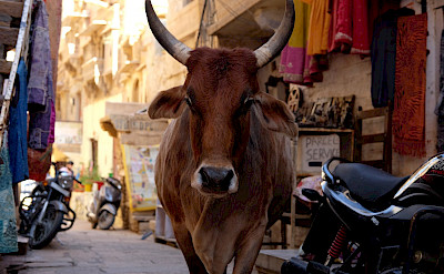 Bull in the streets of Rajasthan, India. Flickr:Ijya Yakubovich