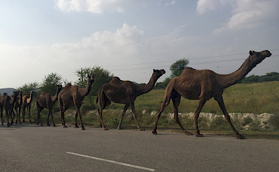 Camels crossing in Rajasthan, India.