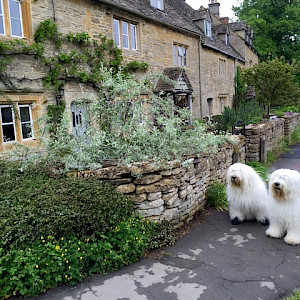 Old English Sheep Dogs in the Village of Lower Slaughter, England