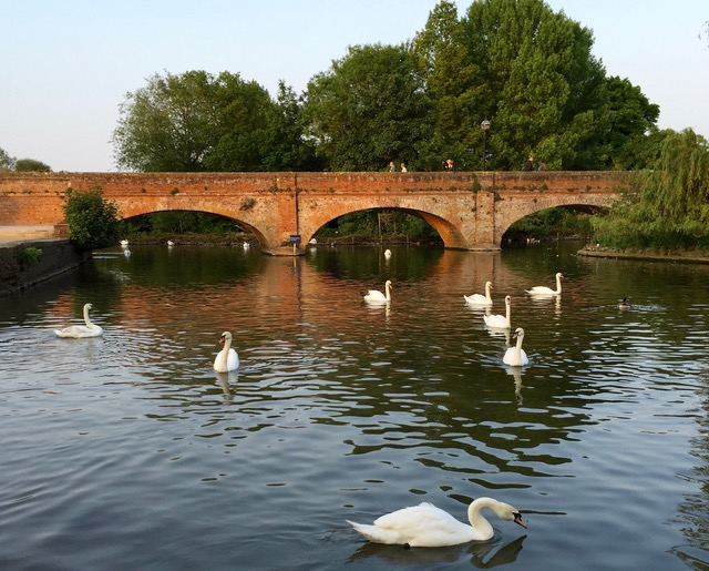 Swans on the River Avon in Stratford Upon Avon, England