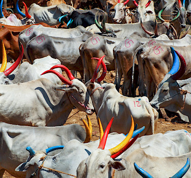 Cattle market in Kerala, India. Photo via Flickr:Julia Maudlin