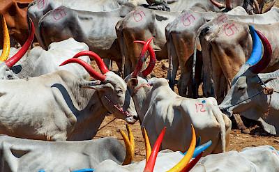 Cattle market in Kerala, India. Photo via Flickr:Julia Maudlin