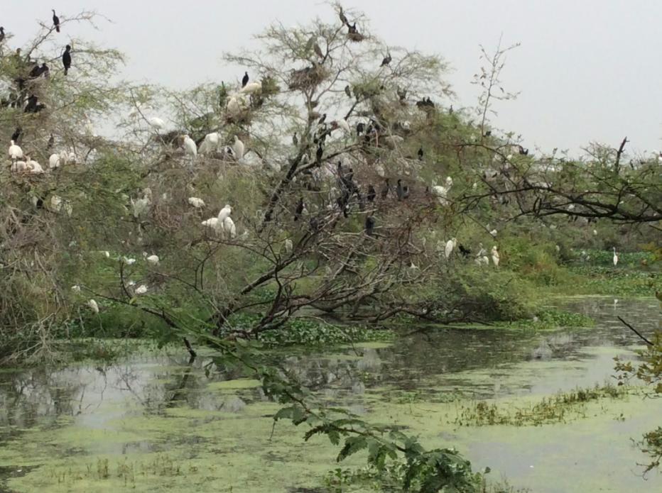 Birds Keoladeo Ghana Nat. Park