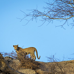 Leopard on the hillside
