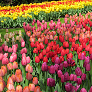 Keukenhof is in Lisse, the Netherlands. Photo via Flickr:IMBiblio