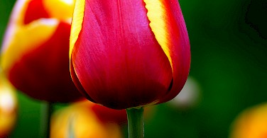 Holland+tulips=love Photo via Flickr:Bernard Spragg. NZ