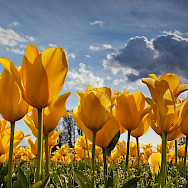 Yellow tulips in the Netherlands (nickname Holland). Photo via Flickr:stokesrx