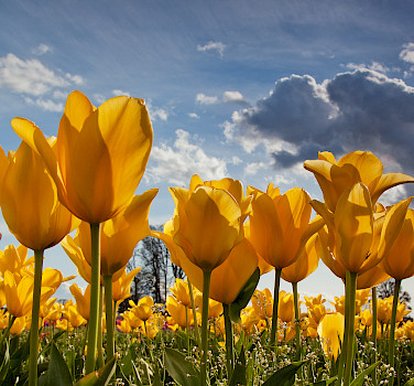 Tulip Tour - 10 Day - Amsterdam to Bruges