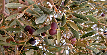 Olives growing on Mount Nebo in Jordan. Photo via Flickr:Dennis Jarvis