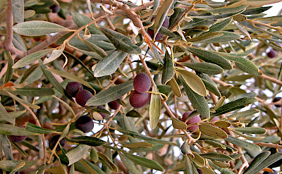 Olives growing on Mount Nebo in Jordan. Flickr:Dennis Jarvis