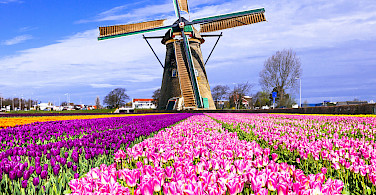 Tulips and windmills in Holland, of course! Photo via Flickr:Matheus Swanson