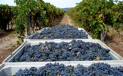 Harvesting the vineyards in Alentejo, Portugal. Photo via Flickr:Andre Ribeirinho