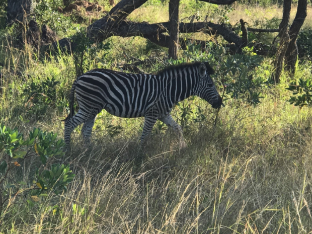 Zebra on the safari