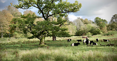 Belted Galloway cows originating in Southwest Scotland. Photo via TO