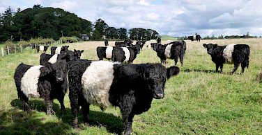 Belted Galloway cows originating in Southwest Scotland. Photo via Tour Operator