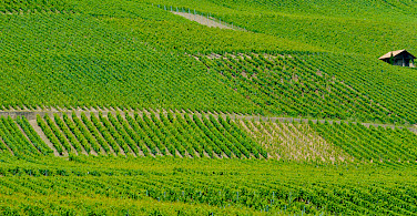 Vineyards decorate the landscape from Geneva, Switzerland into France. Photo via Flickr:llee_wu