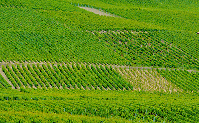 Vineyards decorate the landscape from Geneva, Switzerland into France. Flickr:llee_wu