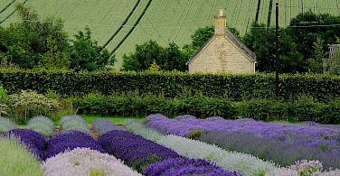 Lavender fields in Snowshill, Gloucesterdshire, England. Photo via Wikimedia Commons:Saffron blaze